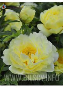 Piwonia ITOH 'Garden Treasure'