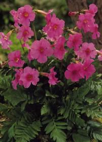 Gloksynia ogrodowa różowa