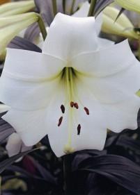 Lilia drzewiasta 'White Triumph'