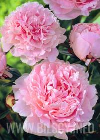 Piwonia 'Sarah Bernhardt'