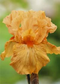 Irys amerykański 'Orange Harvest'