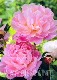 Piwonia różowa, pięknie pachnąca