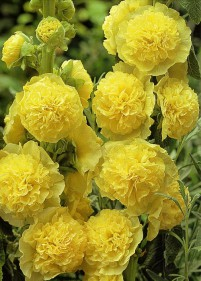 Malwa pełna 'Chater's Double Yellow'