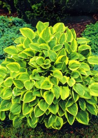 Funkia 'Golden Tiara'