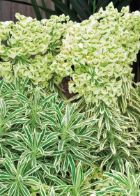 Euphorbia characias - wilczomlecz błękitnawy 'Tasmanian Tiger'