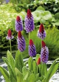 Pierwiosnek ogrodowy Prymulka (Primula) Sadzonki - Bilscy info