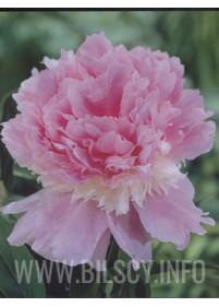 Piwonia 'Raspberry Sunday'