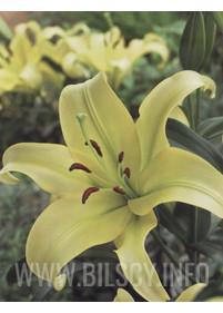 Lilia drzewiasta 'Yelloween'