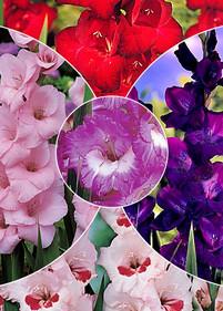 Kolekcja nr15 Mieczyk wielkokwiatowy