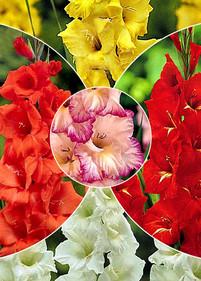 Kolekcja nr13 Mieczyk wielkokwiatowy