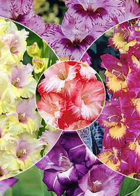 Kolekcja nr16 Mieczyk wielkokwiatowy