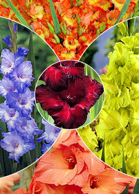 Kolekcja nr14 Mieczyk wielkokwiatowy