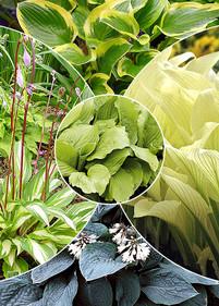 Kolekcja nr4 Funkia ogrodowa