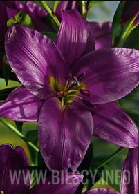 Lilia drzewiasta 'Purple Prince'