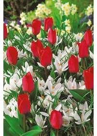 Kwiaty Cebulowe Rośliny Cebulowe Wieloletnie Do Ogrodu Bilscyinfo