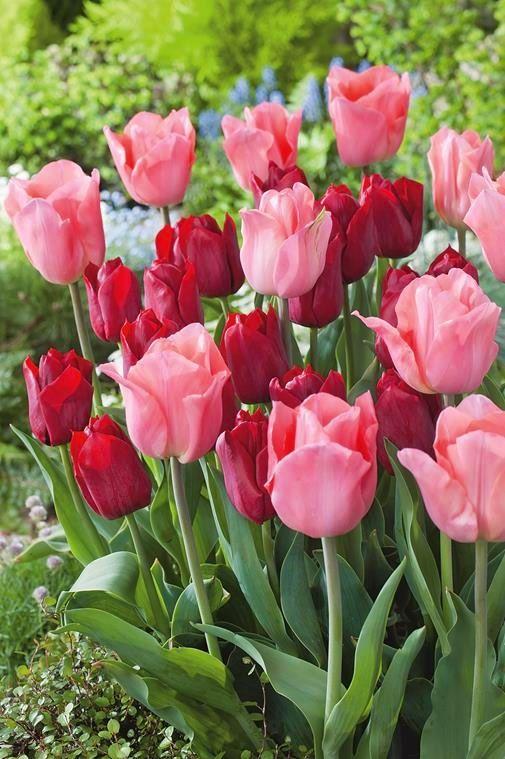 Tulipany klasyczne czerwone i różowe (Tulipa) - Bilscy.info